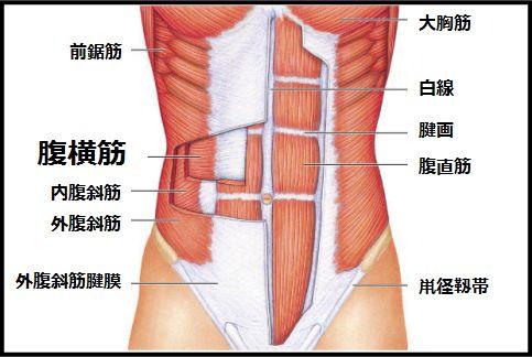 腹横筋が腹筋インナーマッスルで最重要な理由