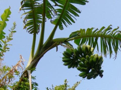 バナナの花は先端側