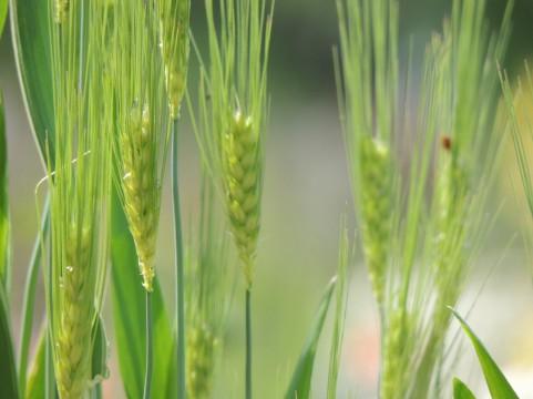 動脈硬化予防に大麦が効くことがわかってきた
