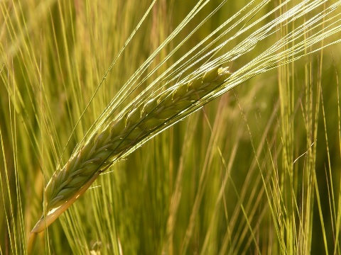 大麦がスーパーでは押麦として並んでいる理由