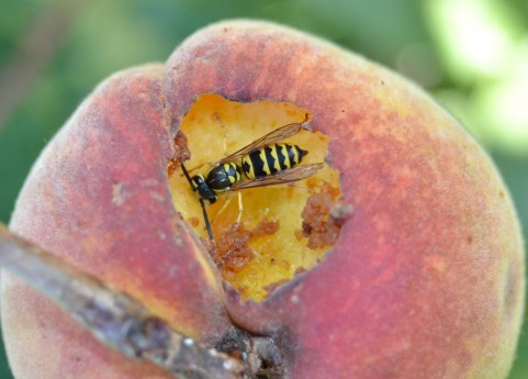 アナフィラキシーをおこさない正しい蜂の対処法