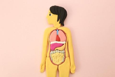 朝食抜きダイエットが体のリズムを整える