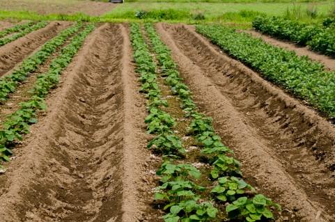 露地栽培の野菜はハウスより抗酸化作用が強い