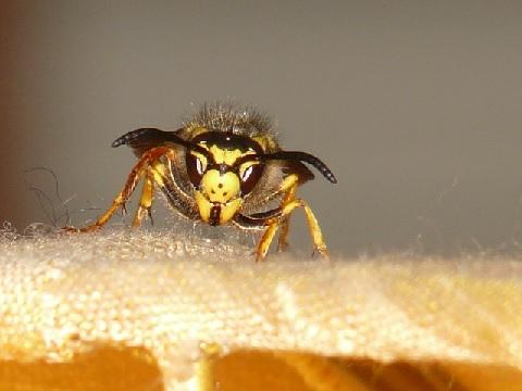 キイロスズメバチが大増殖中!その対処法とは?