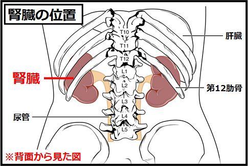 腎臓の位置