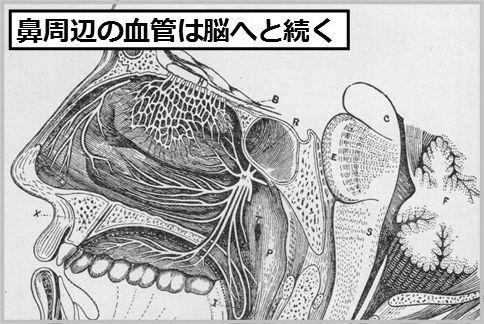 めんちょうは鼻周辺の血管から脳へ