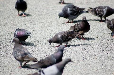 クリプトコッカス症は鳩が集まる場所で感染する