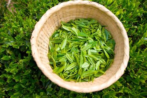 口臭予防にはお茶の葉の粉末が一番効果的